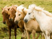 http://upload.wikimedia.org/wikipedia/commons/0/0c/Iceland_horse_herd_in_August.jpg